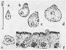 Species Candacia ethiopica - Plate 14 of morphological figures