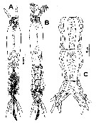 Species Cymbasoma cocoense - Plate 1 of morphological figures