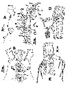 Species Cymbasoma cocoense - Plate 2 of morphological figures