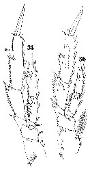 Species Acrocalanus longicornis - Plate 13 of morphological figures