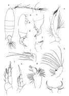 Species Paracartia africana - Plate 1 of morphological figures