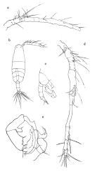 Species Paracartia africana - Plate 2 of morphological figures