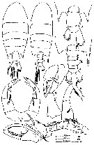 Species Pontellopsis krameri - Plate 5 of morphological figures