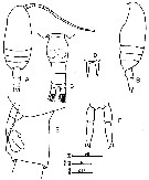 Species Clausocalanus minor - Plate 12 of morphological figures