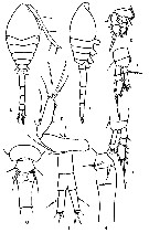 Species Dioithona minuta - Plate 4 of morphological figures