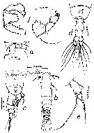 Species Acartia (Acanthacartia) tonsa - Plate 26 of morphological figures