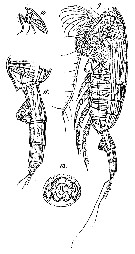 Species Paraeuchaeta tonsa - Plate 21 of morphological figures