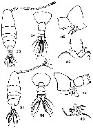 Species Acartia (Acanthacartia) tonsa - Plate 27 of morphological figures
