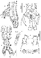 Species Cymbasoma germanicum - Plate 5 of morphological figures
