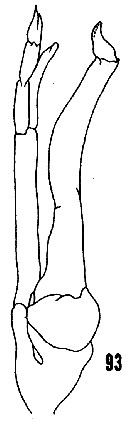 Species Scolecithrix danae - Plate 28 of morphological figures