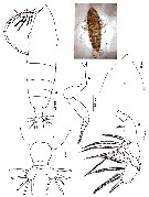 Species Haloptilus spiniceps - Plate 18 of morphological figures