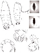 Species Labidocera pavo - Plate 14 of morphological figures