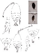 Species Scolecithrix danae - Plate 29 of morphological figures