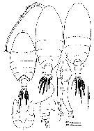 Species Scolecithrix danae - Plate 30 of morphological figures