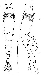 Species Cymbasoma striifrons - Plate 1 of morphological figures