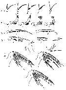 Species Heterorhabdus tanneri - Plate 12 of morphological figures