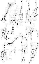 Species Oithona similis-Group - Plate 30 of morphological figures