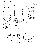 Species Acartia (Acanthacartia) tonsa - Plate 34 of morphological figures
