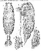 Species Pseudochirella scopularis - Plate 3 of morphological figures