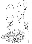 Species Euchirella rostrata - Plate 40 of morphological figures