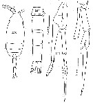 Species Scolecithricella minor - Plate 25 of morphological figures