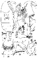 Species Amallothrix aspinosa - Plate 2 of morphological figures
