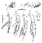 Species Scolecithricella minor - Plate 27 of morphological figures