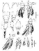 Species Triconia borealis - Plate 14 of morphological figures