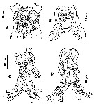 Species Cymbasoma quadridens - Plate 5 of morphological figures