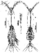 Species Cymbasoma nicolettae - Plate 1 of morphological figures