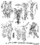 Species Cymbasoma nicolettae - Plate 2 of morphological figures
