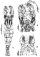 Species Cymbasoma tumorifrons - Plate 6 of morphological figures