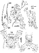 Species Monstrilla bahiana - Plate 3 of morphological figures