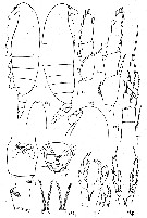 Species Calanus hyperboreus - Plate 20 of morphological figures