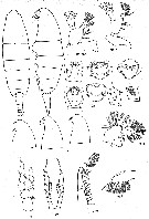 Species Neocalanus plumchrus - Plate 35 of morphological figures