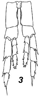 Species Calanus finmarchicus - Plate 32 of morphological figures