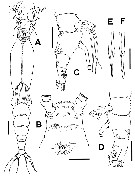 Species Cymbasoma bali - Plate 5 of morphological figures