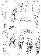 Species Spinoncaea ivlevi - Plate 10 of morphological figures