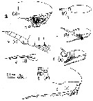 Species Pseudocalanus newmani - Plate 4 of morphological figures