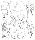 Species Scolecithricella minor - Plate 3 of morphological figures