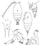 Species Scolecithrix danae - Plate 5 of morphological figures