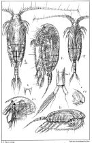 Species Aetideus armatus - Plate 2 of morphological figures