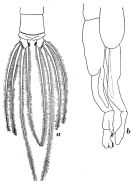 Species Chirundinella magna - Plate 3 of morphological figures