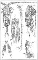 Species Calanus finmarchicus - Plate 3 of morphological figures