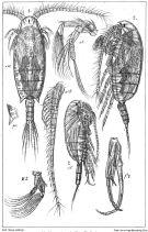 Species Bradyidius similis - Plate 3 of morphological figures