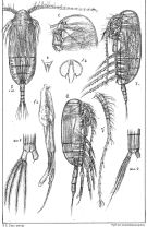 Species Scolecithricella minor - Plate 5 of morphological figures