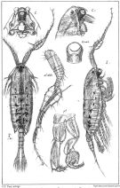 Species Anomalocera patersoni - Plate 3 of morphological figures