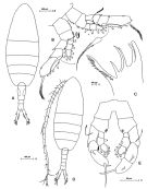 Species Augaptilus glacialis - Plate 2 of morphological figures