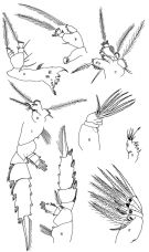 Species Pseudochirella notacantha - Plate 7 of morphological figures