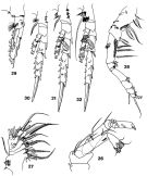 Species Spinocalanus dispar - Plate 2 of morphological figures